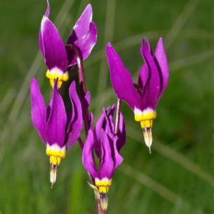 DODECATHEON CONJUGENS NEWEST